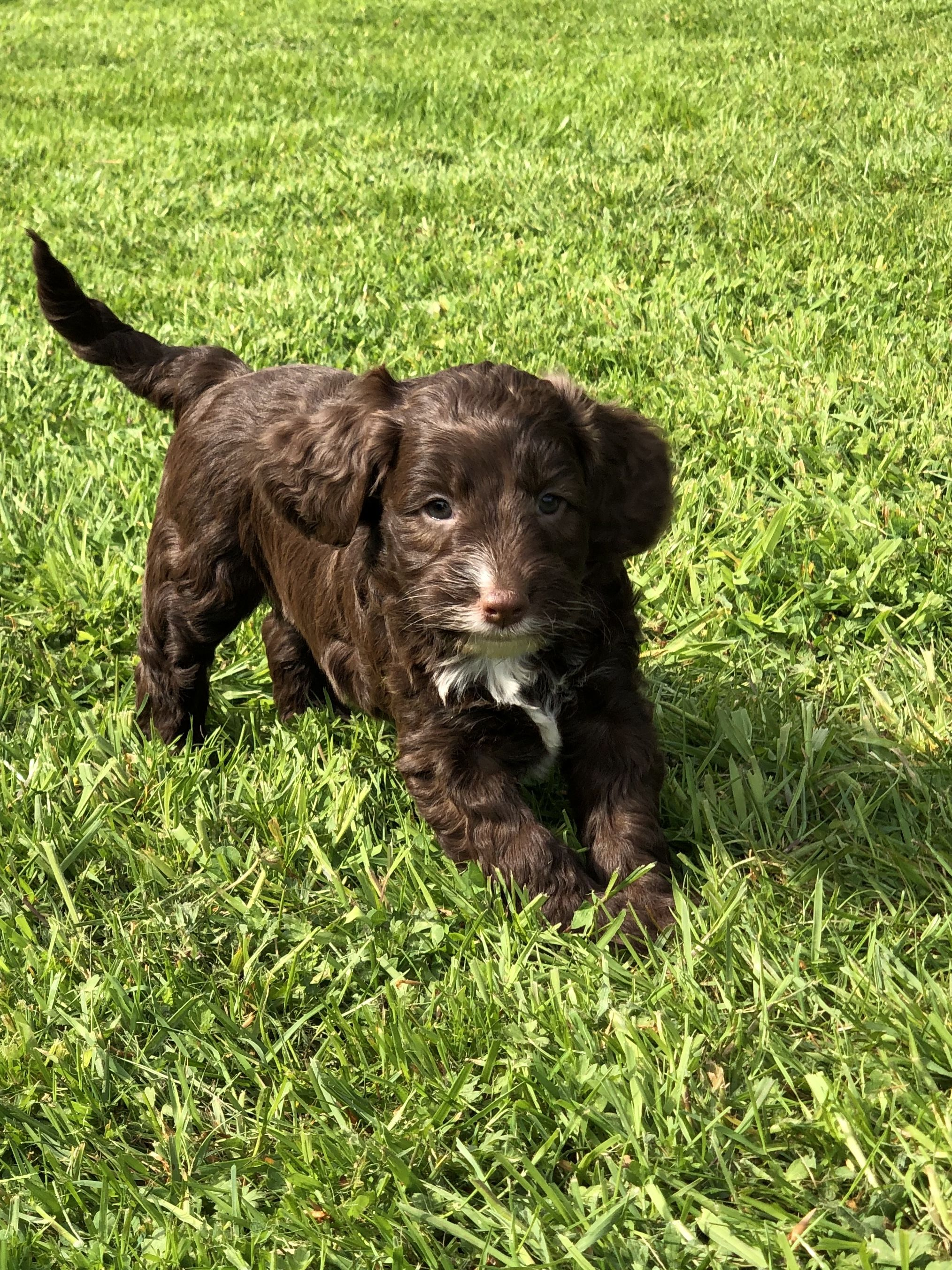 Cockapoo F1 for sale - Tywi Vale