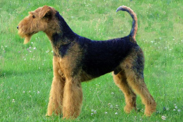 Thumbnail for Airedale Terrier