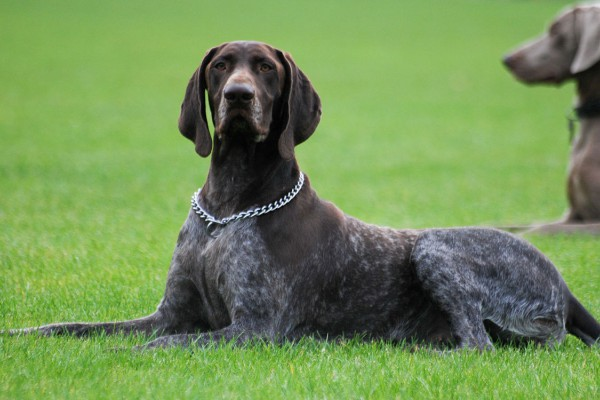 Thumbnail for German Shorthaired Pointers